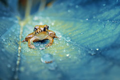 Crystal Frog. This frog stay on leaf that has many dews Royalty Free Stock Images