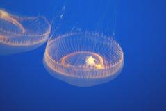 Crystal Jellyfish, Aequorea acuario de Victoria, Monterey, los E.E.U.U. Imagenes de archivo