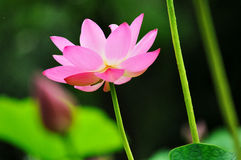 Red lotus flower. It was shot on a summer day, lotus was crystal red in the sunshine Stock Image