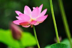 crystal lotusblomma i solskenet fotografering för bildbyråer
