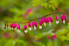 Lamprocapnos. Heart-shaped flowers looks so charming and attractive Stock Photos
