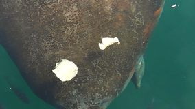 Crystal River Manatee stock footage
