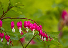 Crystal Showy Bleeding heart Stock Photo