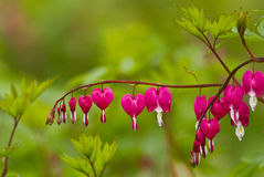 Crystal Showy Bleeding heart. Is also called old-fashioned bleeding heart with its Latin name Dicentraspectabilis(L.)Lem in which spectabilis measn showy and Royalty Free Stock Image