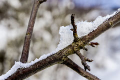 Crystal of snow. Branch with snow-branch, snow Stock Photos