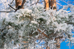 Crystal snow on pine needles. Crystal snow on pine needles against the blue sky Royalty Free Stock Photos