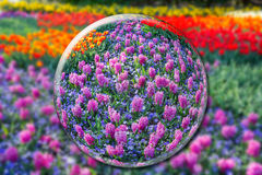 Crystallbal met roze hyacinten en bloemengebied Stock Afbeelding