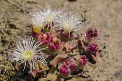 Crystallinum del Mesembryanthemum Fotografie Stock