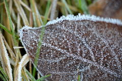 Crystallized autumn leaf in frost. Crystallized autumn leaf by frost in grass Stock Image
