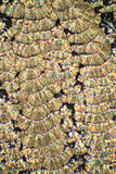 Crystals of Ascorbic Acid Royalty Free Stock Photography
