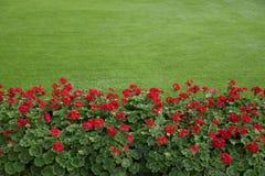 Césped con los geranios rojos Imagen de archivo