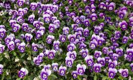 Césped de violetas Foto de archivo libre de regalías