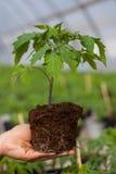 拿着有土壤的人的手年幼植物在被弄脏的自然背景 生态世界环境日CSR幼木去 图库摄影
