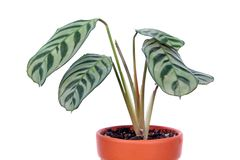 Ctenanthe burle-marxii or fishbone prayer plant in flowerpot isolated on white background. General view of plant stock images