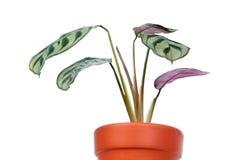 Ctenanthe burle-marxii or fishbone prayer plant in flowerpot isolated on white background stock photos