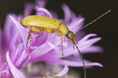 Cteniopus sulphureus sitting on thistle Stock Photos