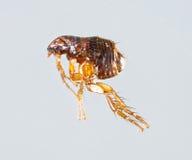 Ctenocephalides felis. Close up female ctenocephalides felis or cat flea  on gray background Stock Images