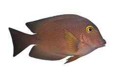 ctenochaetus鱼热带tru 免版税库存图片