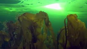 Ctenophore en underwter hermoso de las algas del fondo en hielo del mar blanco almacen de metraje de vídeo