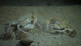 Ctenophores, invasor al Mar Negro, medusa Mnemiopsis del peine leidy almacen de metraje de vídeo