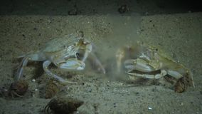 Ctenophores, invasore al Mar Nero, medusa Mnemiopsis del pettine leidy video d archivio