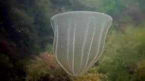 Ctenophores, nuotata predatore di ovata di Beroe della gelatina di pettine nell'acqua alla ricerca di alimento video d archivio