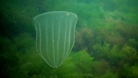 Ctenophores, Predatory comb jelly Beroe ovata swim in the water in search of food. Fauna of the Black Sea. Ukraine stock video footage
