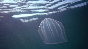 Ctenophores, Predatory comb jelly Beroe ovata swim in the water in search of food. Invasion Fauna of the Black Sea stock footage