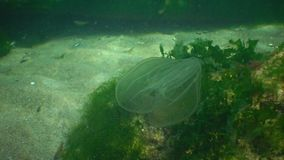Ctenophores, predatory comb jellyfish invader to the Black Sea, jellyfish Beroe ovate, devouring Mnemiopsis leidy. The northern part of the Black Sea stock video