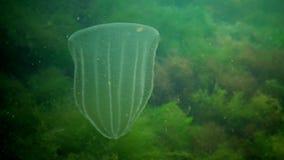 Ctenophores rov- för Beroe för hårkamgelé bad ovata i vattnet i sökande av mat lager videofilmer