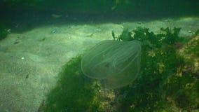 Ctenophores rov- hårkammanetangripare till Blacket Sea, manet ovate som Beroe slukar leidy Mnemiopsis stock video
