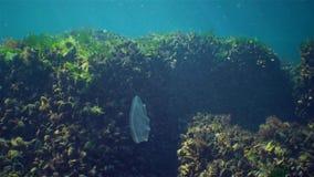 Ctenophores rov- hårkammanetangripare till Blacket Sea, manet ovate som Beroe slukar leidy Mnemiopsis arkivfilmer