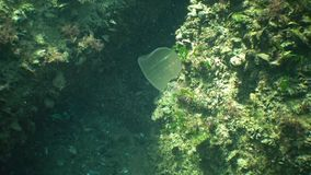 Ctenophores rov- hårkammanetangripare till Blacket Sea, manetBeroe ovata arkivfilmer