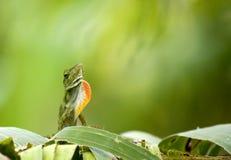 Ctenosaur lizard. (Ctenosaura similis) displaying on a leaf in Costa Rica Royalty Free Stock Image