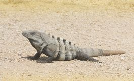 Ctenosaur in Tulum royalty free stock photography