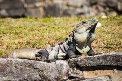 Ctenosaura similis. Black  Iguana near Mayan ruins in Mexico. Ctenosaura similis also known as Garrobo Royalty Free Stock Photography