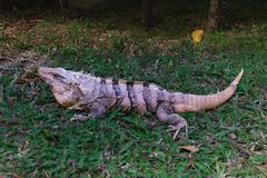 Ctenosaura-similis der schwarze stachelige Endstück-Leguan lizenzfreie stockfotos
