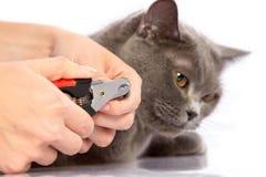 Cuídese y un gato británico en el fondo blanco Fotografía de archivo libre de regalías