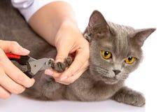 Cuídese y un gato británico en el fondo blanco Imágenes de archivo libres de regalías