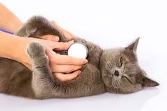 Cuídese y un gato británico en el fondo blanco Foto de archivo libre de regalías