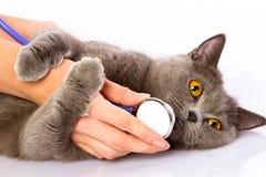 Cuídese y un gato británico en el fondo blanco Fotografía de archivo