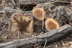 Cuñas del pino Imagenes de archivo