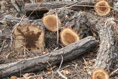 Cuñas del pino Foto de archivo