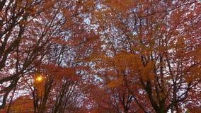 Céu azul das árvores vermelhas da estação do outono video estoque