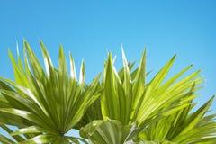 Céu azul ensolarado das folhas de palmeira no fundo Fotografia de Stock