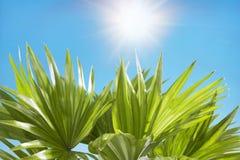 Céu azul ensolarado das folhas de palmeira no fundo Imagem de Stock Royalty Free