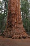 CU de séquoia Photo libre de droits