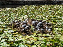 Cu Nuferi (lac Waterlilies), Felix Baths - Baile Felix, B de Lacul Image stock