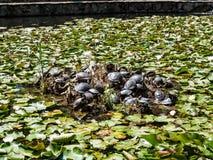 Cu Nuferi (lago) Waterlilies, Felix Baths - Baile Felix, B de Lacul Imagen de archivo