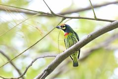 Cu Roc Bird. Birt at Ho Chi Minh , Viet Nam Stock Photo